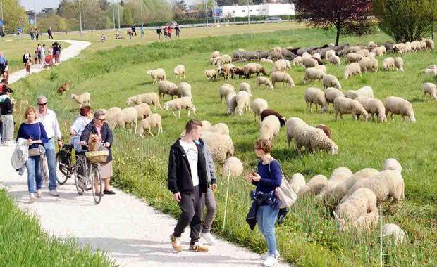 L'eco-pascolo per la manutenzione dei parchi urbani